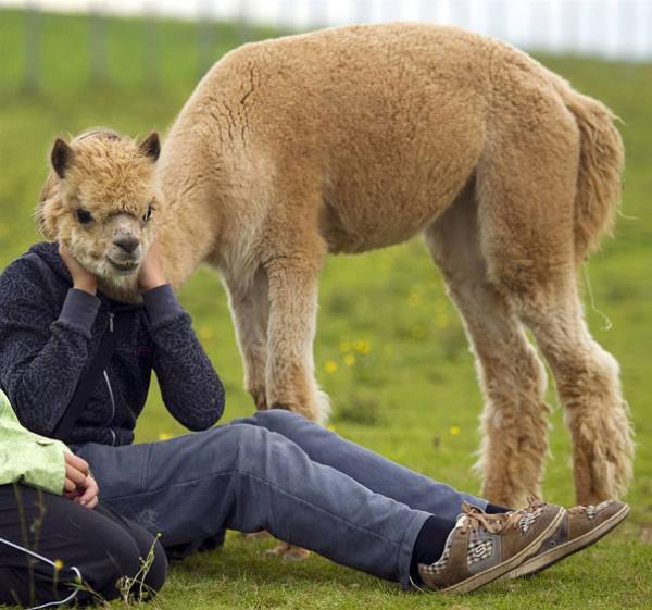 right-angle-llama